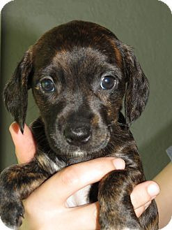 Dachshund/Terrier (Unknown Type, Small) Mix Puppy for adoption in Middleburg, Florida - Lilyan
