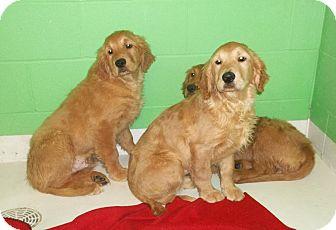Golden Retriever Puppy for adoption in Sunset Hills, Missouri - Golden Retriever Boys
