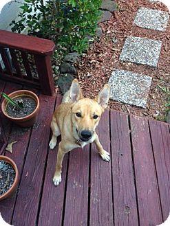 Carolina Dog Mix Dog for adoption in Cranston, Rhode Island - Riley (fostered in TX)