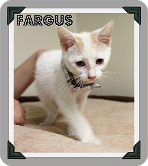 Domestic Shorthair Kitten for adoption in Cleburne, Texas - Fargus