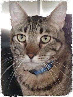 Domestic Shorthair Cat for adoption in Pueblo West, Colorado - Max