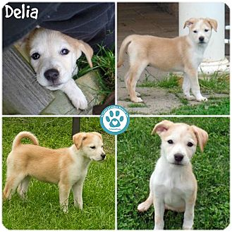 Australian Cattle Dog Mix Puppy for adoption in Kimberton, Pennsylvania - Delia