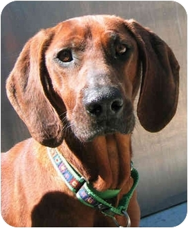 Redbone Coonhound Dog for adoption in Chicago, Illinois - June