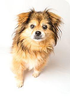 Pomeranian/Pekingese Mix Dog for adoption in Hendersonville, North Carolina - Mitch