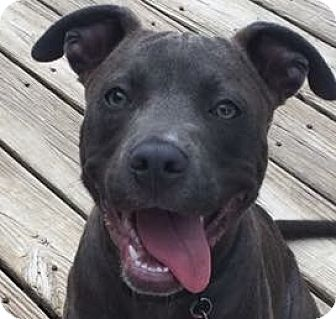 Pit Bull Terrier Mix Puppy for adoption in Memphis, Tennessee - Tasty Twyla