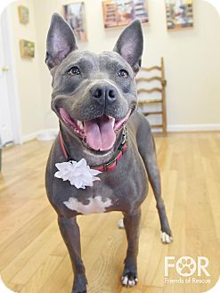 Pit Bull Terrier Mix Dog for adoption in Homewood, Alabama - Zeva