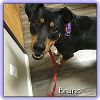 Adopt A Pet :: Bruno - Gilbert, AZ