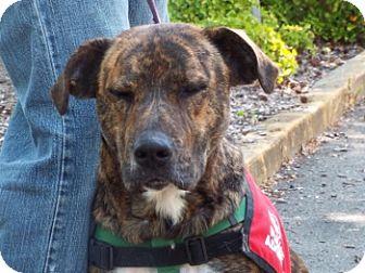 Dutch Shepherd/Boxer Mix Dog for adoption in Grants Pass, Oregon - Zena