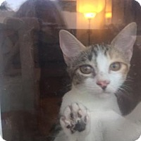 Calico Cat for adoption in Glendale, Arizona - Mrs. Boo