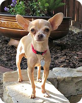 Chihuahua Mix Dog for adoption in McKinney, Texas - Pickle