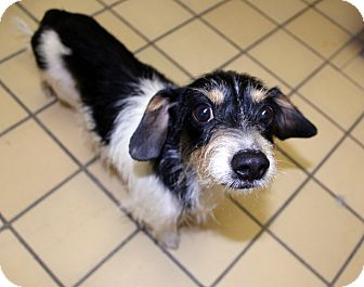 Dachshund Mix Dog for adoption in Lumberton, North Carolina - Kip