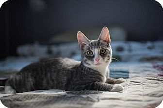 Domestic Shorthair Kitten for adoption in Columbus, Ohio - Luke