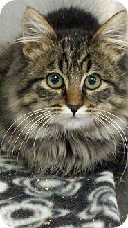 Domestic Longhair Kitten for adoption in Sauk Rapids, Minnesota - Nickel