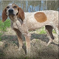 Coonhound Mix Dog for adoption in Shreveport, Louisiana - Bayou Huntress - In Foster Home