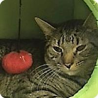 Adopt A Pet :: Tiger - Medina, OH