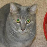 Domestic Shorthair Cat for adoption in Middletown, Ohio - Sassy