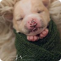 Adopt A Pet :: Snoop Dogg - Dallas, TX