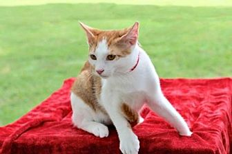 Domestic Shorthair Kitten for adoption in Sussex, New Jersey - GORDON