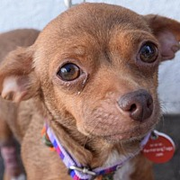 Adopt A Pet :: Josey - Los Angeles, CA