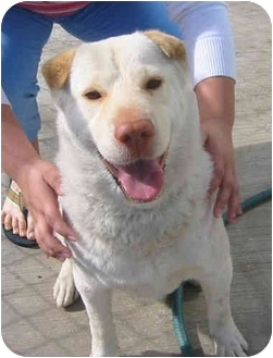 Labrador Retriever/Shar Pei Mix Dog for adoption in Poway, California - Baby