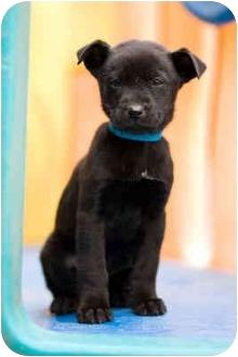 Labrador Retriever Mix Puppy for adoption in Portland, Oregon - Gidget