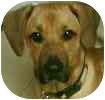 Labrador Retriever/Hound (Unknown Type) Mix Dog for adoption in Hamilton, Ontario - Roo
