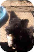 Border Collie/Belgian Tervuren Mix Dog for adoption in Phelan, California - CRISSY
