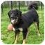 Photo 1 - Bernese Mountain Dog/German Shepherd Dog Mix Dog for adoption in Ile-Perrot, Quebec - Sharla