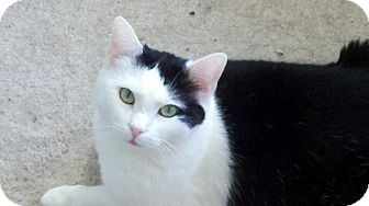 Domestic Shorthair Cat for adoption in Chicago, Illinois - Maggie