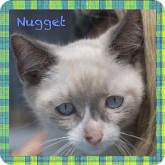 Domestic Shorthair Kitten for adoption in Corpus Christi, Texas - Nugget