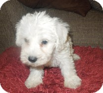 Poodle (Miniature)/Schnauzer (Miniature) Mix Puppy for adoption in St. Petersburg, Florida - Alpine
