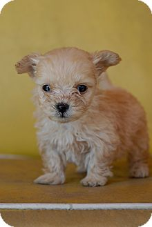 Poodle (Toy or Tea Cup) Mix Puppy for adoption in Los Angeles, California - Mena