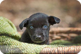 Labrador Retriever Mix Puppy for adoption in Salem, Massachusetts - Eeyore