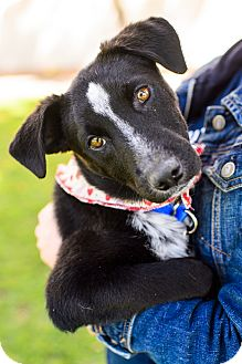 Cattle Dog/Labrador Retriever Mix Puppy for adoption in Los Angeles, California - Dusty