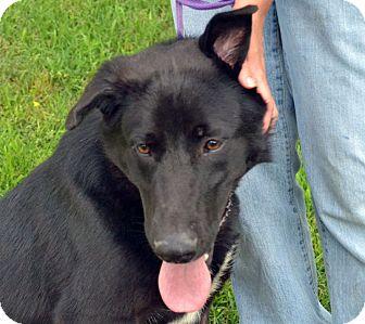 Shepherd (Unknown Type)/Labrador Retriever Mix Dog for adoption in Searcy, Arkansas - Mitch