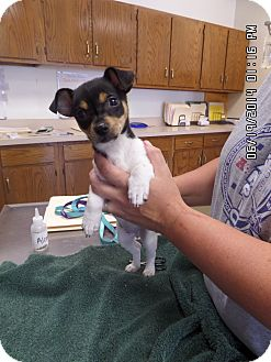 Toy Fox Terrier/Chihuahua Mix Puppy for adoption in Paris, Illinois - tinkerbell