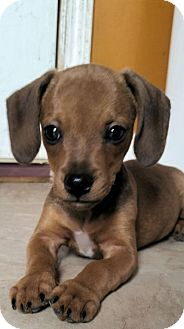 Chihuahua/Dachshund Mix Puppy for adoption in Hammonton, New Jersey - Howie