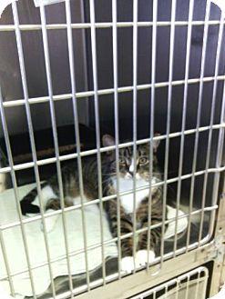 Domestic Shorthair Cat for adoption in Sauk Rapids, Minnesota - Otis