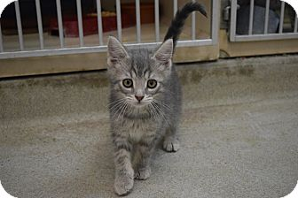 Domestic Shorthair Kitten for adoption in Bucyrus, Ohio - The Incredibly Deadly Viper