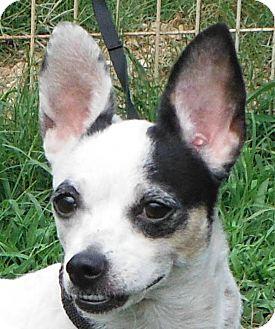 Chihuahua Mix Dog for adoption in Cedartown, Georgia - Cricket