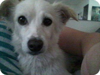 Papillon/Chihuahua Mix Dog for adoption in Las Vegas, Nevada - Preston