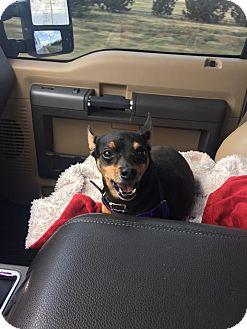 Miniature Pinscher Dog for adoption in Denver, Colorado - Pepe