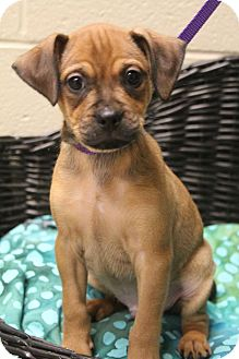 Pug/Chihuahua Mix Puppy for adoption in Hagerstown, Maryland - Bruin