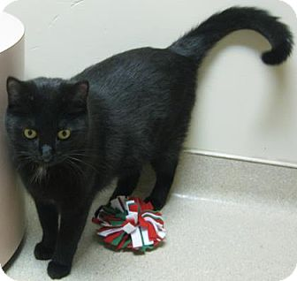 Domestic Shorthair Kitten for adoption in Gary, Indiana - Salem