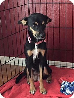 Rat Terrier Mix Dog for adoption in House Springs, Missouri - ellie mae