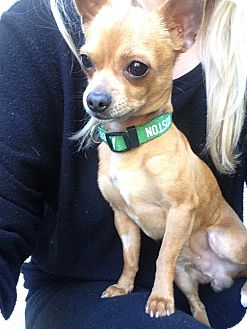 Chihuahua/Chihuahua Mix Puppy for adoption in Los Angeles, California - Sandals