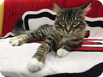 Domestic Mediumhair Cat for adoption in Maryville, Missouri - Scar