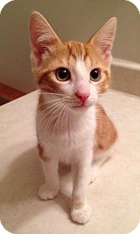 Domestic Shorthair Kitten for adoption in Woodstock, Ontario - Cinder