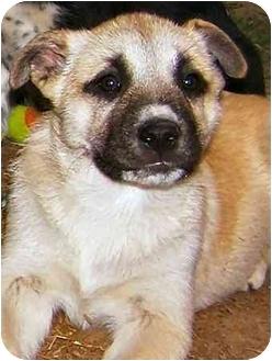 Boxer/Shepherd (Unknown Type) Mix Puppy for adoption in Pittsboro/Durham, North Carolina - Sahara