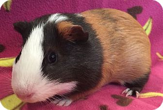 Guinea Pig for adoption in Highland, Indiana - Jigglypuff